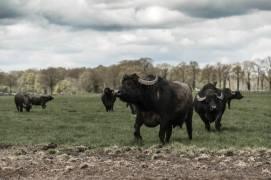 Buffalofarm Twente